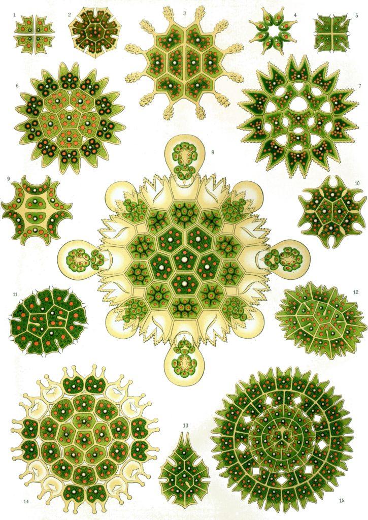 Haeckel-psychedelique