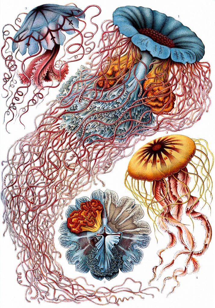 meduse-haeckel