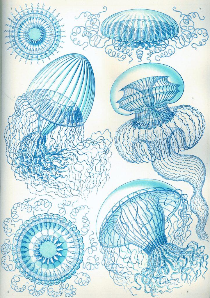 haeckel-meduse