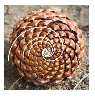 pomme pin fibonacci